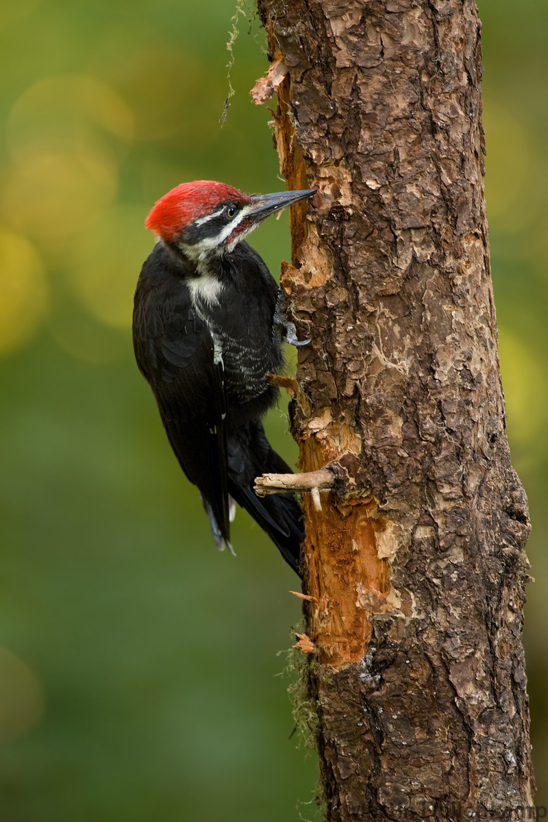 Photograph of Pileated Woodpecker peeling bark off tree.