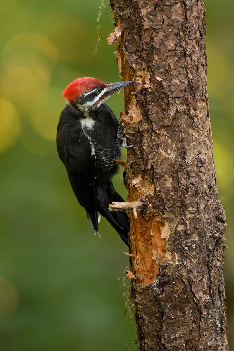 Photograph of Pileated Woodpecker peeling bark off tree.