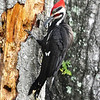 Pileated Woodpecker<br /> Lake Helen, Florida<br /> 055-0229a