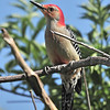 Reb-bellied Woodpecker<br /> Sebastian, Florida<br /> 033-9275b