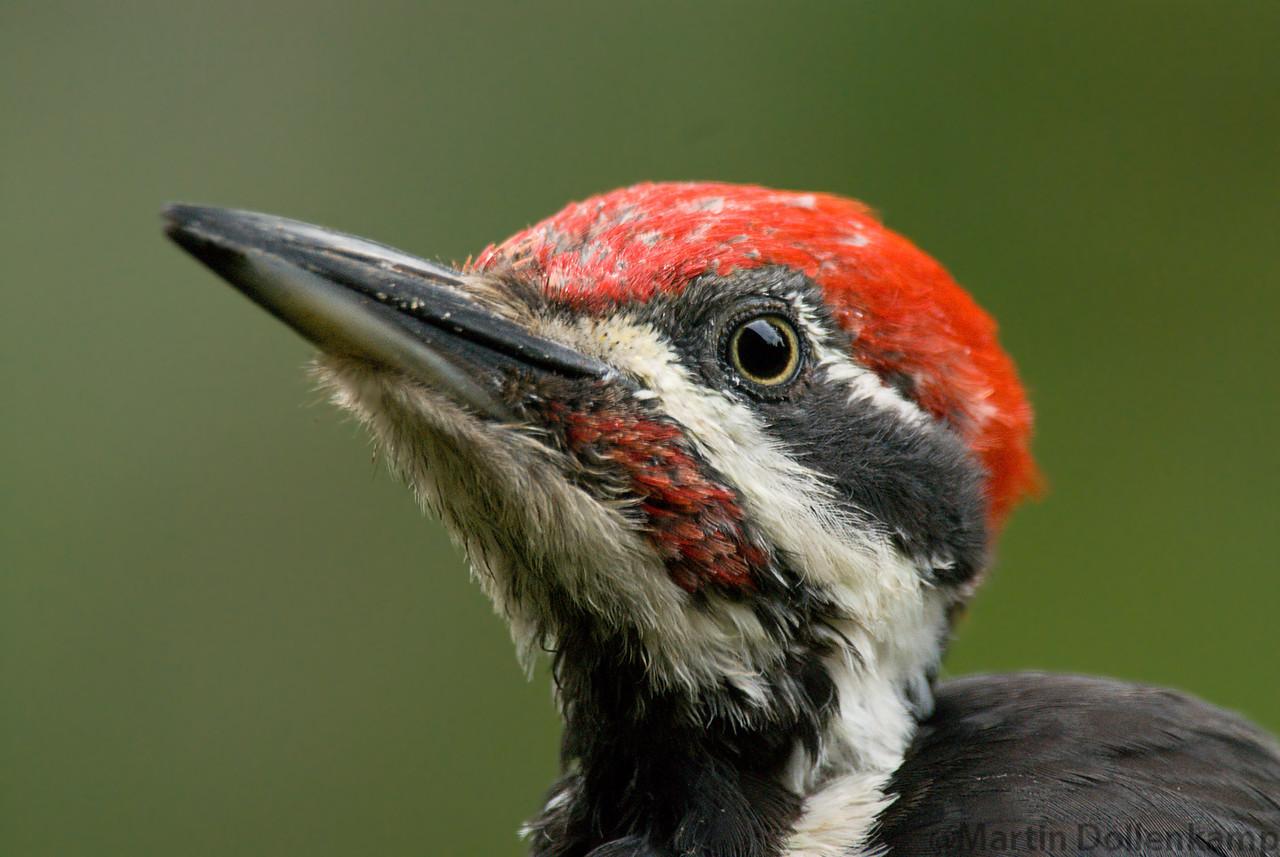 Pileated Woodpecker male, closeup.