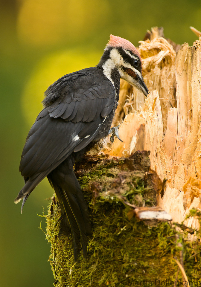 A juvenile Pileated woodpecker digs through the rotted log looking for grubs.