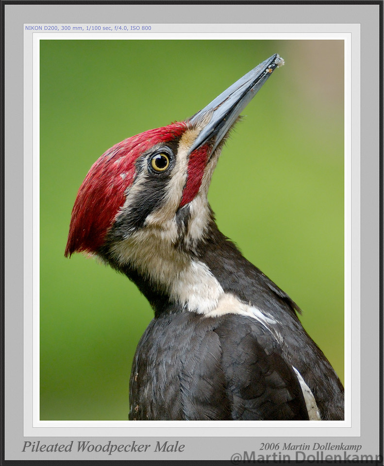 Pileated Woodpecker male framed.