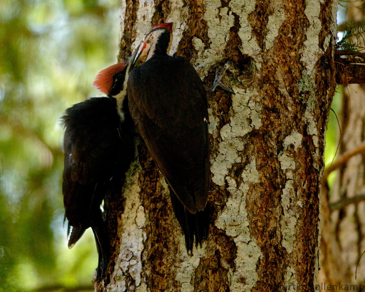 Pileated Woodpeckers, adult male feeding young.