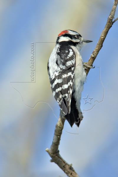 Downy Woodpecker,<br /> Brazos Bend State Park, Texas