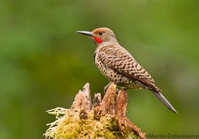 Northern Red Shafted Flicker visiting the backyard in Black Creek