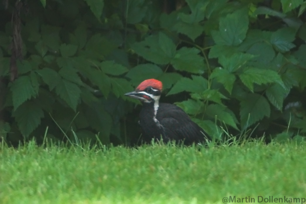 Pileated Woodpecker male fledgling on the lawn.