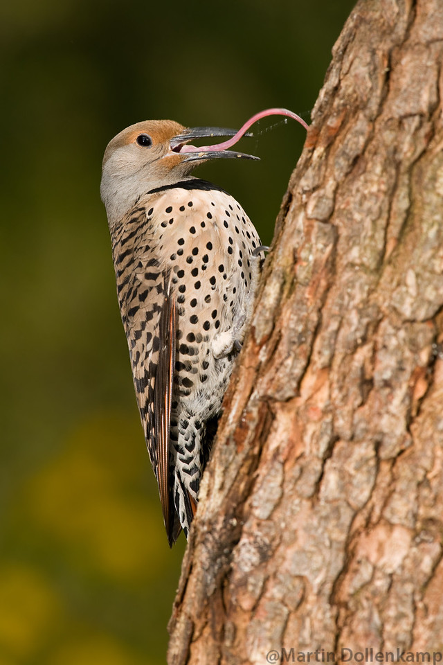 Northern Flicker, red shafted female. these two pictures show there incredible tongue.