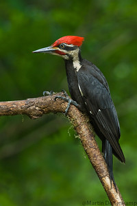 Pileated Woodpecker, you can tell this is a male by the red mustaches the females are black, also the males red crown comes all the way down to the bill, the females are only part way then there is a mixture of black and yellow.