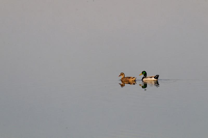 casal de Patos Reais