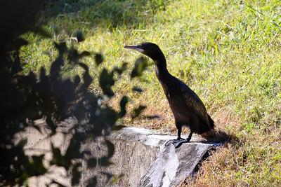 World Migratory Bird Day, Boondall Wetlands, Brisbane. Photos by Des Thureson