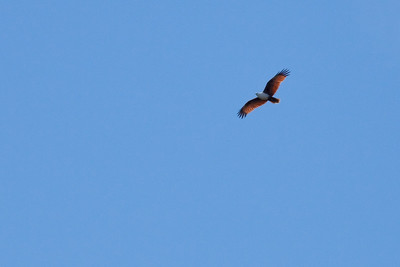 Brahminy Kite (Haliastur indus) - World Migratory Bird Day, Boondall Wetlands, Brisbane. Photos by Des Thureson:  http://disci.smugmug.com