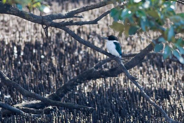 "Either a Forest Kingfisher (Todiramphus macleayii) or Collared Kingfisher (Todiramphus chloris) - World Migratory Bird Day, Boondall Wetlands, Brisbane. Photos by Des Thureson:  <a href=""http://disci.smugmug.com"">http://disci.smugmug.com</a>. See also <a href=""http://www.birdsqueensland.org.au/galleries/Supplement_v40_Kingfishers.pdf"">http://www.birdsqueensland.org.au/galleries/Supplement_v40_Kingfishers.pdf</a>."