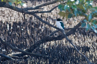 Either a Forest Kingfisher (Todiramphus macleayii) or Collared Kingfisher (Todiramphus chloris) - World Migratory Bird Day, Boondall Wetlands, Brisbane. Photos by Des Thureson:  http://disci.smugmug.com. See also http://www.birdsqueensland.org.au/galleries/Supplement_v40_Kingfishers.pdf.
