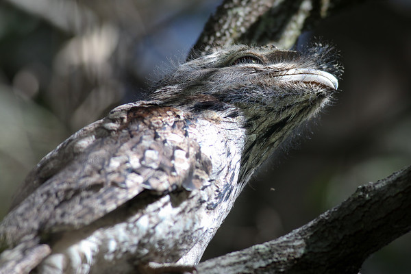Tawny Frogmouth (Podargus strigoides) - World Migratory Bird Day, Boondall Wetlands, Brisbane. Photos by Des Thureson: http://disci.smugmug.com