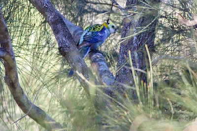 Pale Headed Rosella (Platycerus adscitus) - World Migratory Bird Day, Boondall Wetlands, Brisbane. Photos by Des Thureson:  http://disci.smugmug.com