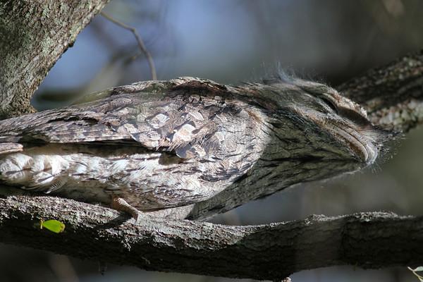 """Tawny Frogmouth (Podargus strigoides) - World Migratory Bird Day, Boondall Wetlands, Brisbane. Photos by Des Thureson:  <a href=""""http://disci.smugmug.com"""">http://disci.smugmug.com</a>"""