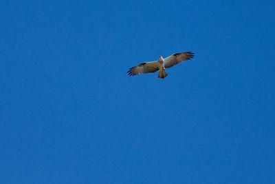 Possibly / maybe an Osprey (Pandion haliaetus) - World Migratory Bird Day, Boondall Wetlands, Brisbane. Photos by Des Thureson:  http://disci.smugmug.com