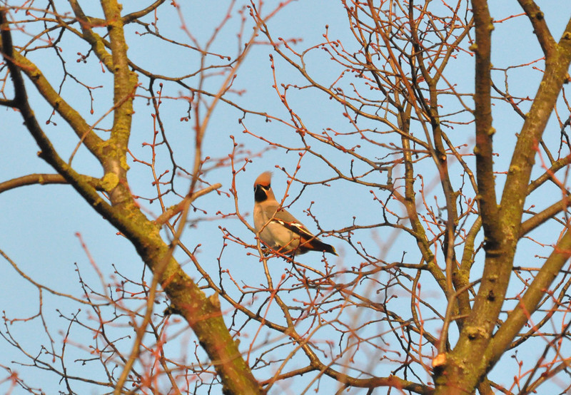 Waxwing front colours York City Centre Dec 26 2011