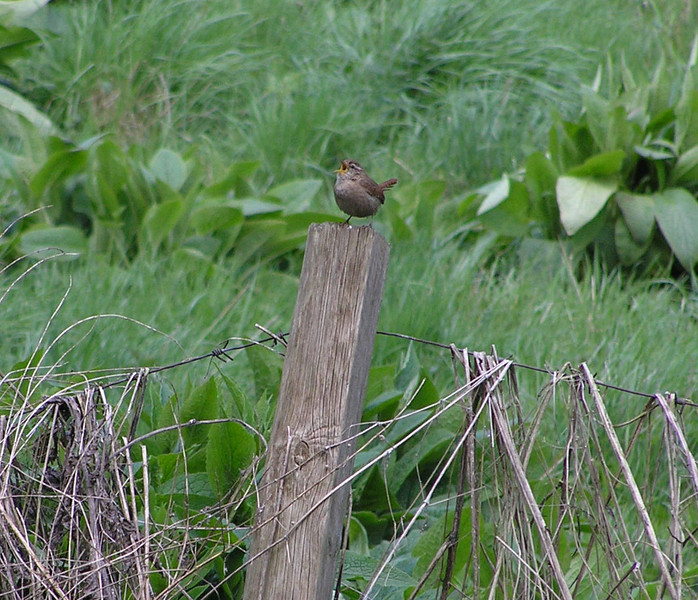 wren berko canal May 2010