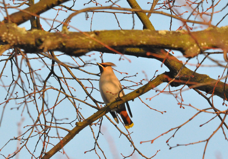 Waxwing York City Centre Dec 26 2011
