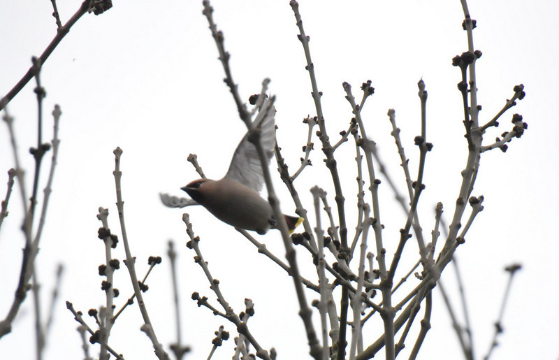 Single Waxwing Wokingham in flight March 2011