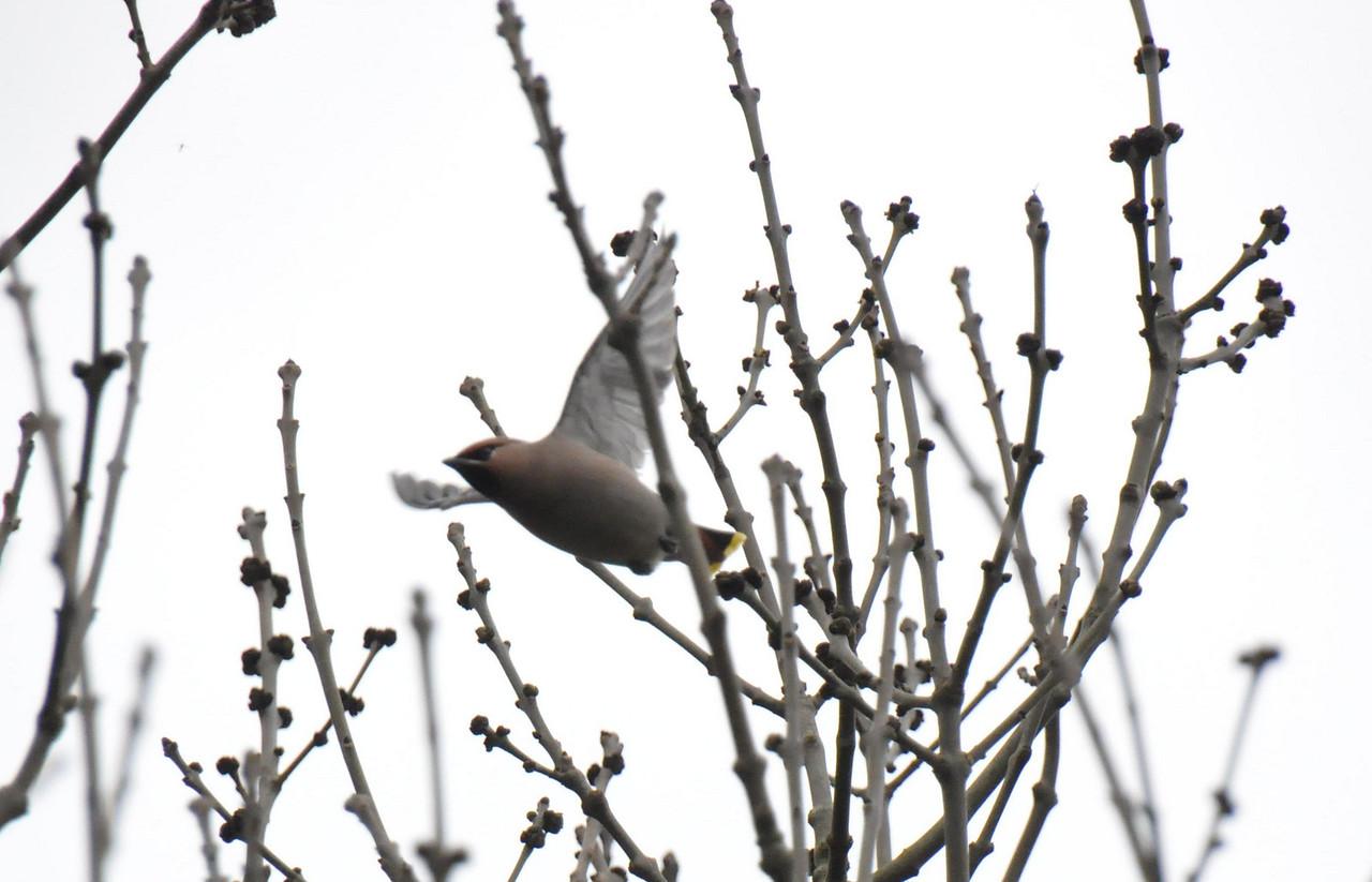 Single Waxwing Wokingham in flight March 2011