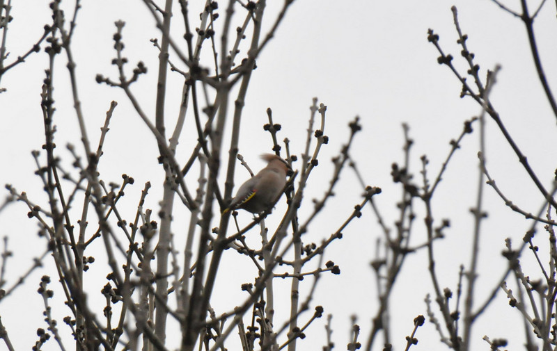 Single Waxwing plumaqe Wokingham March 2011