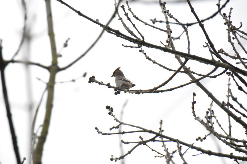 Single Waxwing Wokingham no crop March 2011