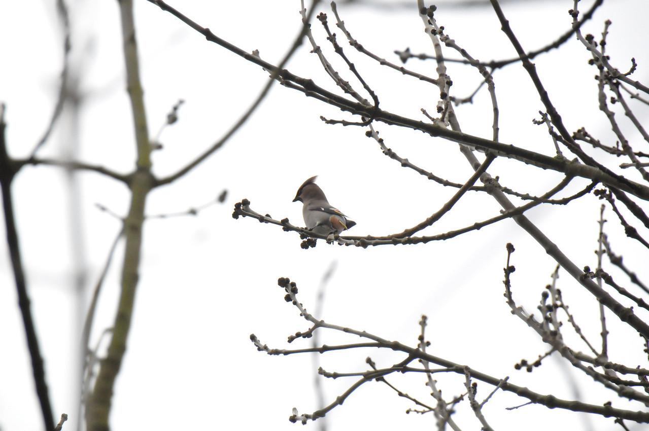Single Waxwing Wokingham no crop March 2011