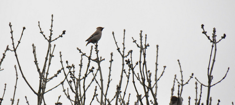 Single Waxwing Wokingham in poplar March 2011