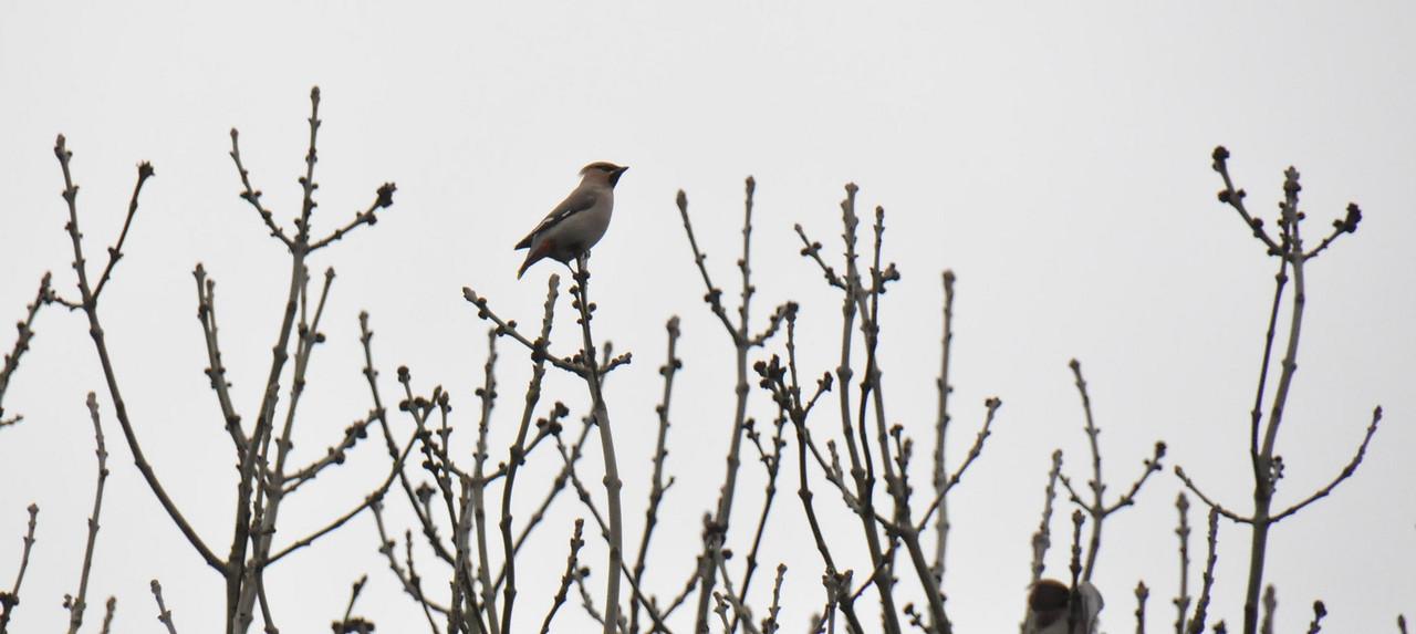 Single Waxwing Wokingham in poplar March 2011