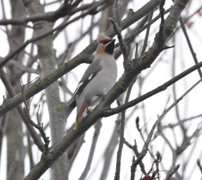 Waxwing berry tree York City Centre Dec 26 2011