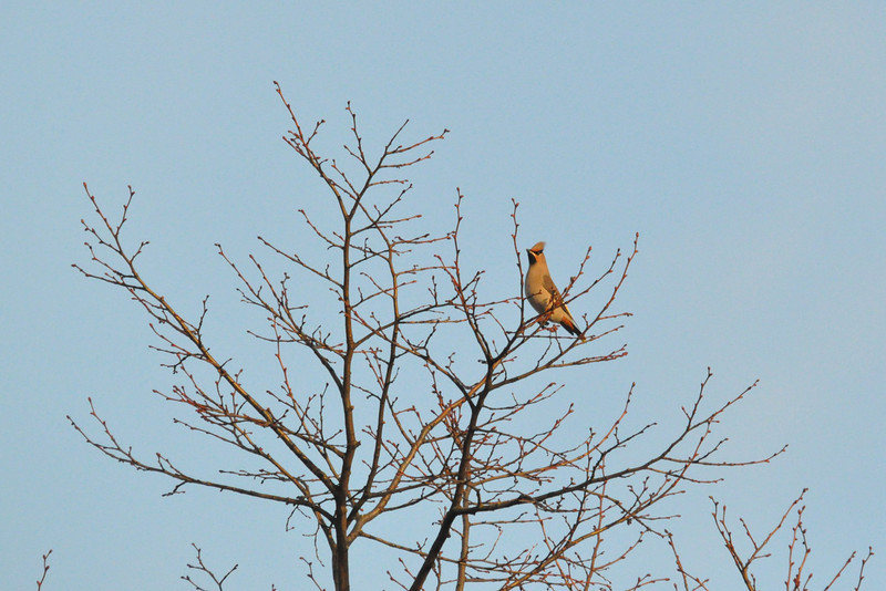 Waxwing in tree York City Centre Dec 26 2011