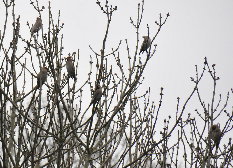 Group Waxwing poplar 2 Wokingham March 2011