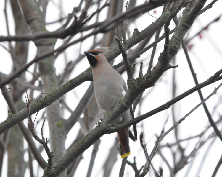 Waxwing front berry tree York City Centre Dec 26 2011