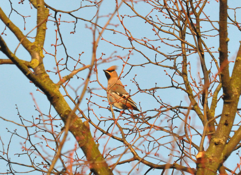 Waxwing in tree 2 York City Centre Dec 26 2011