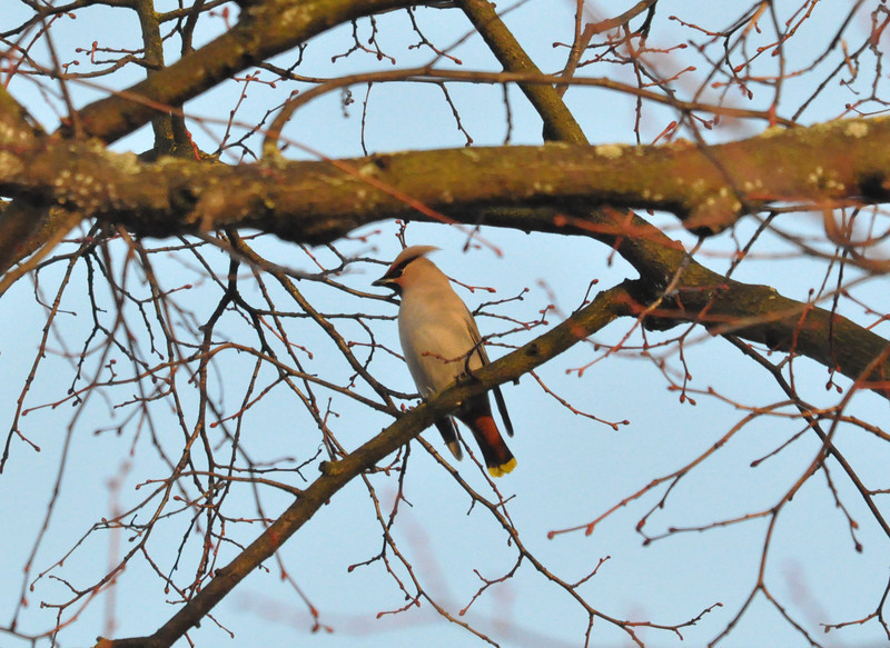 Waxwing side York City Centre Dec 26 2011