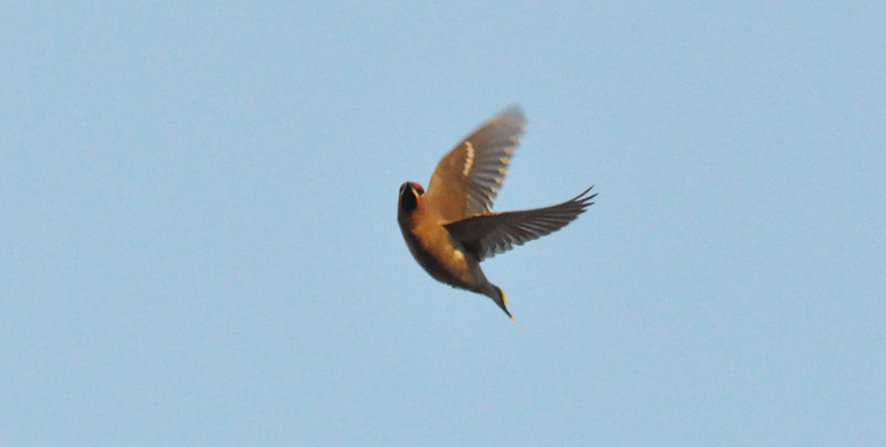Waxwing in flight York City Centre Dec 26 2011