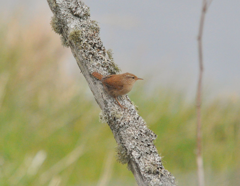 Wren (Hebredian) North Coast Skye May 2012