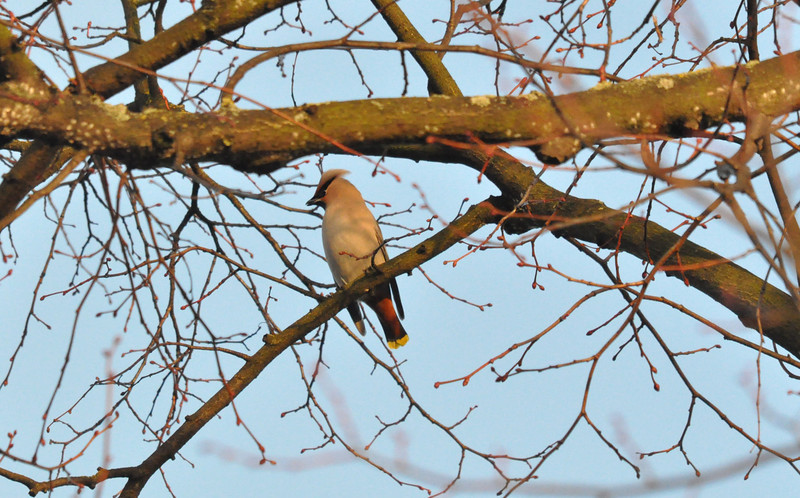 Waxwing side 2 York City Centre Dec 26 2011