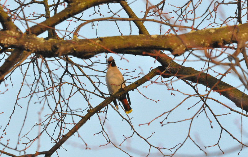 Waxwing front York City Centre Dec 26 2011