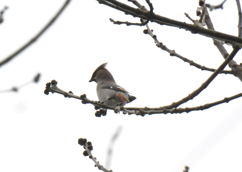 Single Waxwing Wokingham March 2011