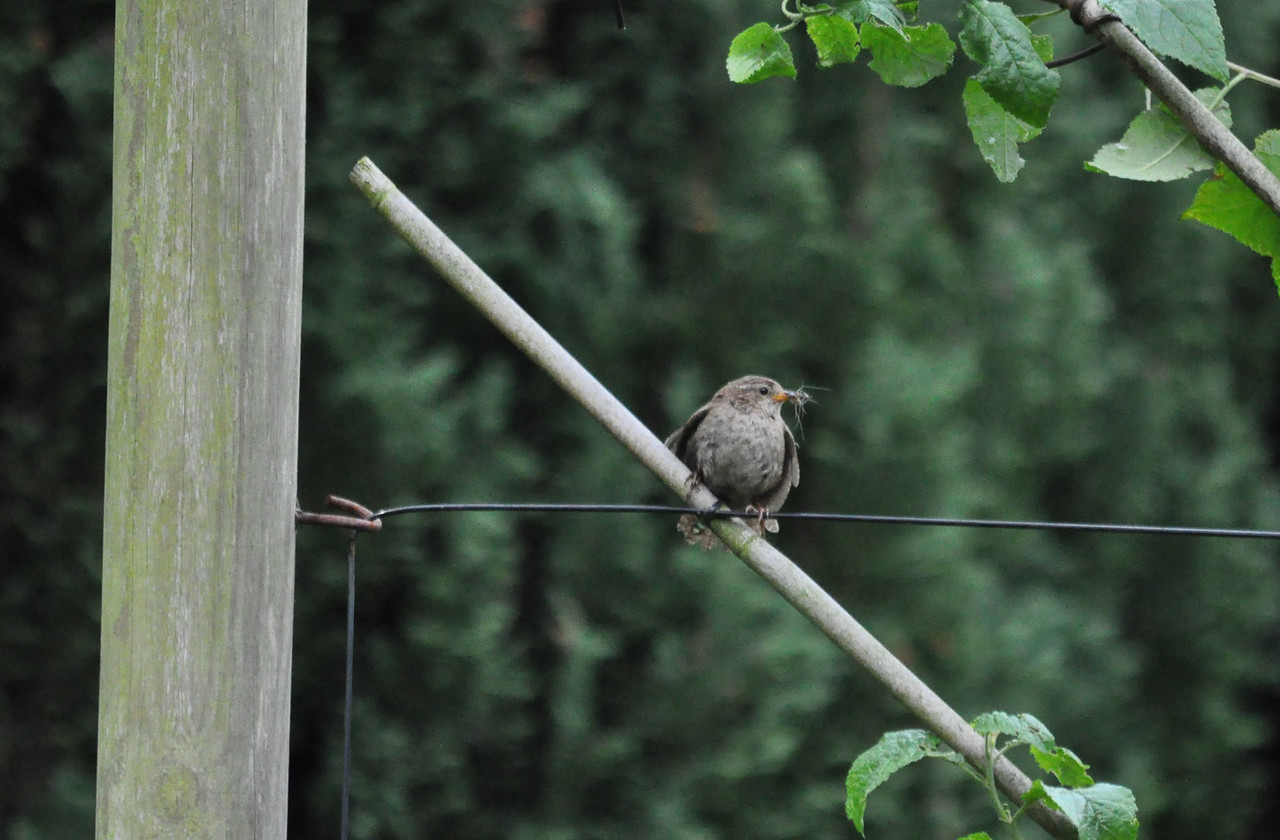 wren with insect stone rings close July 2011