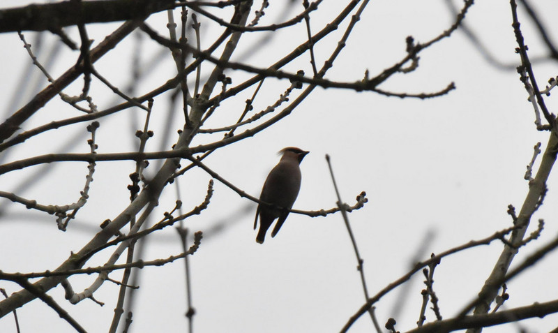 Single Waxwing Wokingham small tree March 2011