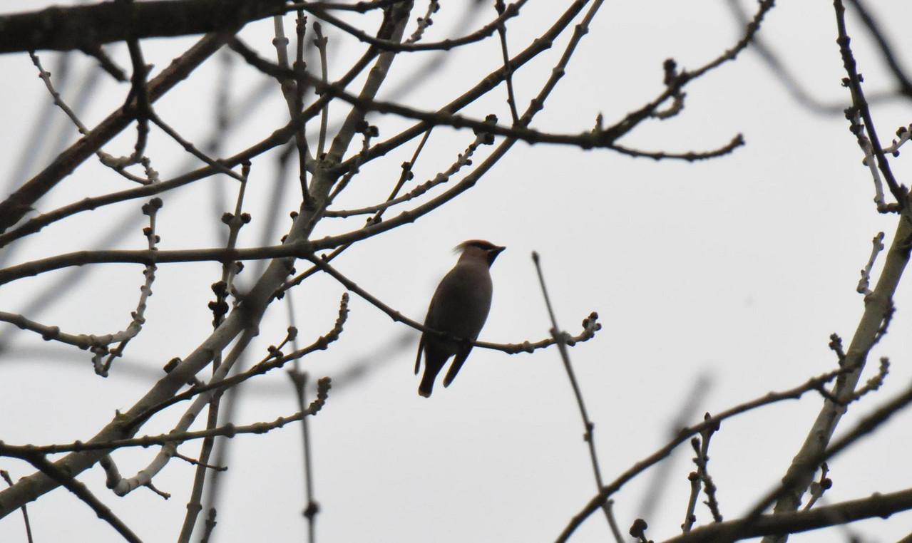 Single Waxwing Wokingham small tree March 2011