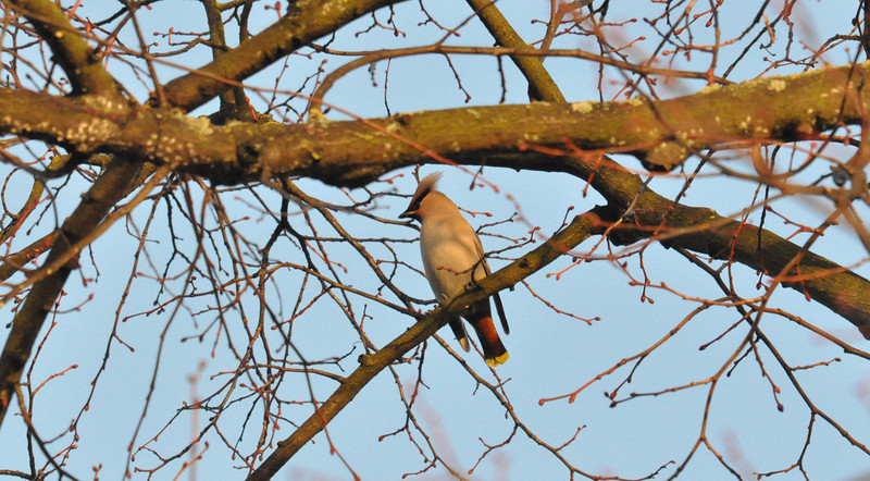 Waxwing tufty York City Centre Dec 26 2011