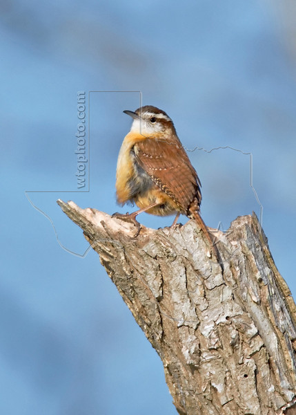Carolina Wren, Step Up and...<br /> Brazos Bend State Park, Texas