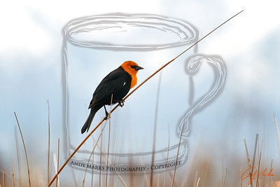 Yellow Headed Blackbird over the marsh at the I-80 exit to Tooele, UT next to McDonald's.