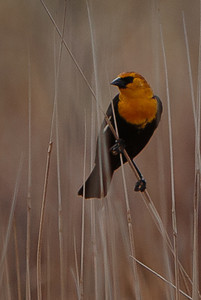 this is a close crop of a much larger image. the yellow headed blackbird were skittish: the girls hadn't arrived yet.